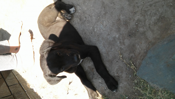 Beautiful Great Dane Puppies for sale