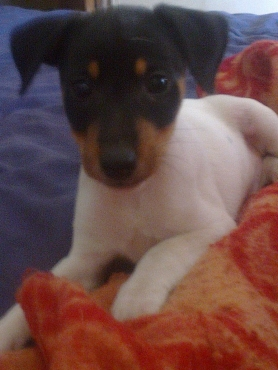 Registered Jack Russell short leg puppies