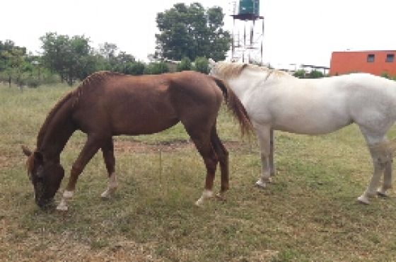 Two mares.