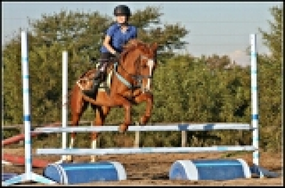 14hh Boerperd cross pony gelding