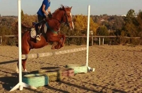 14hh Boerperd cross pony gelding