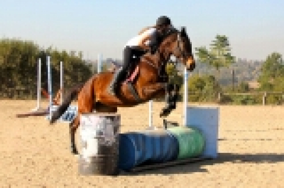 16.3hh TB mare 5 year old