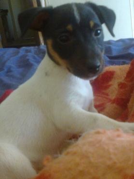 Registered Jack Russell short leg puppies R999