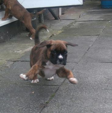 Brindle Boxer Puppies (8 Weeks Old)