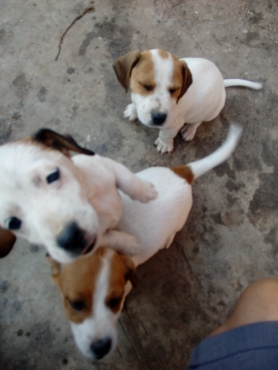 Thorough bred Jack Russell puppies for sale