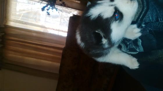Husky male puppy