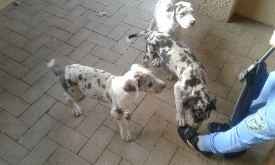 Greatdane Harlequin puppies