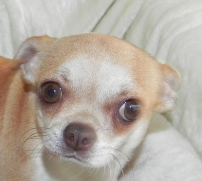 Adult chihuahua female