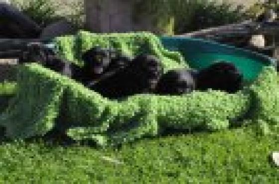 BLACK LABRADOR PUPPIES For sale