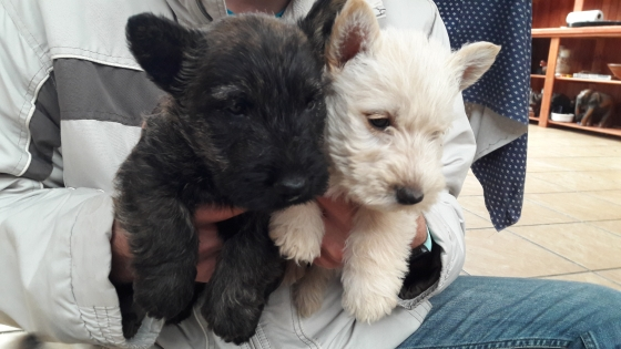 scottish terrier pups