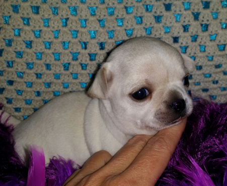 Chihuahua Puppies for Sale Registered & microchipped