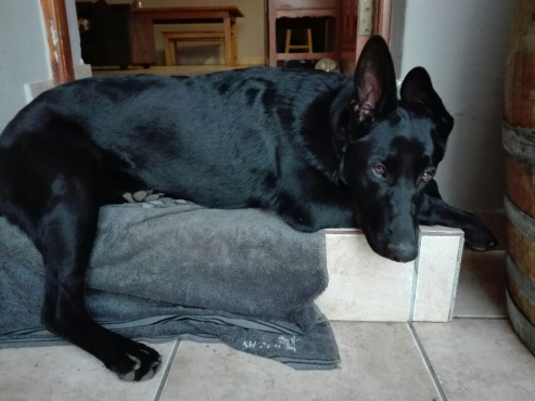 german shepherd in Dogs and Puppies in Mpumalanga | Junk Mail