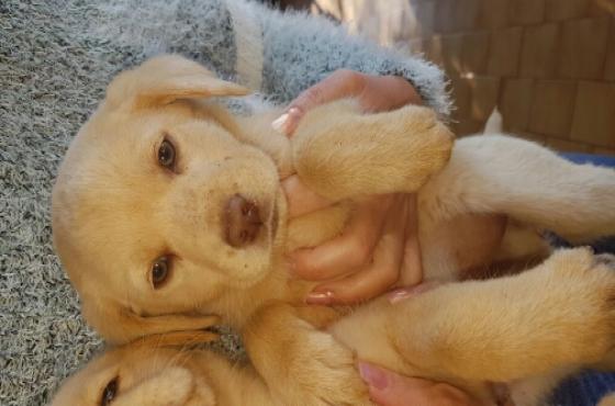 Liver Nose Labrador puppies