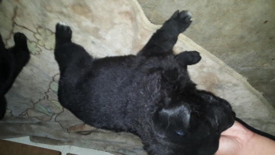 9 Solid Black German Shepherd puppies