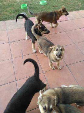 husky x shepard