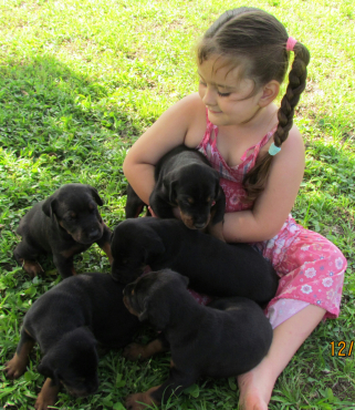 BEAUTIFUL REGISTERED DOBERMANN PUPPIES FOR SALE