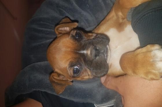 Boxer male puppy