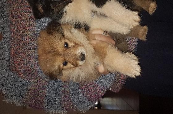 rough lassie collie puppies