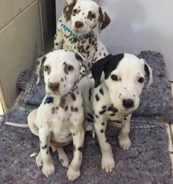 Only the 2 Liver spotted male Dalmatian puppies left - For Sale