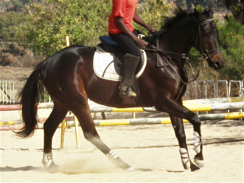 Ideal beginner or nervous rider horse