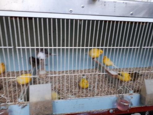 10 Pair Fife Fancy Canary @R300pp