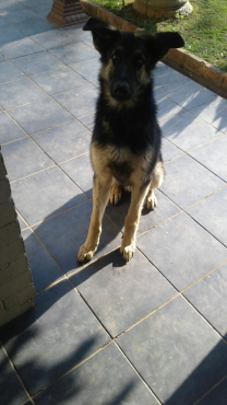 Pure Breed Alsation male 6 months old