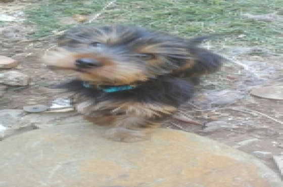 3 x Male yorkies for sale
