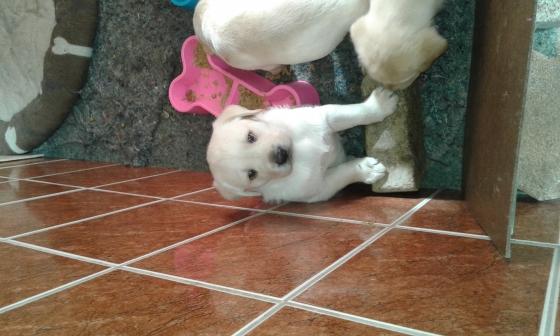 Thoroughbred Labrador puppies