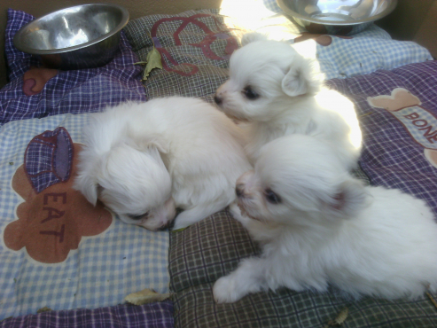 Pure bred silky white longhair Maltese female puppies