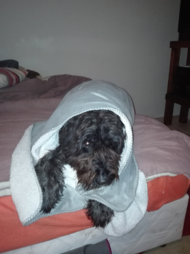 bouvier puppies for sale