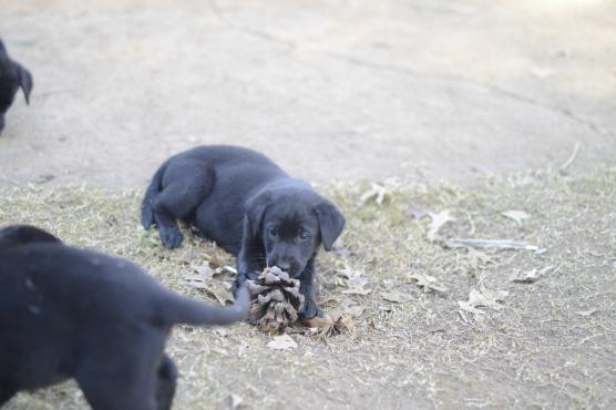 6x 8 week old Labrador cross Shepherd puppies for sale