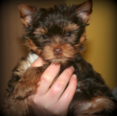 Yorkshire Terrier puppies available