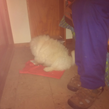 white chow puppy