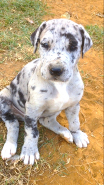 Great Dane German pedigree puppies