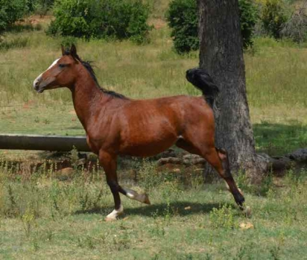 Registered Arab gelding