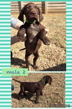 German Shorthaired Pointer Puppy (GSP)
