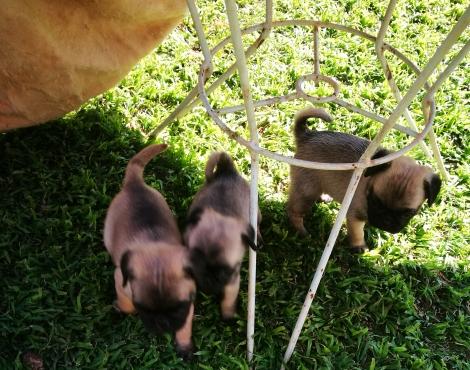 Pugg babies