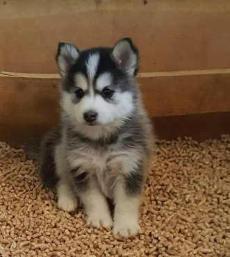 Pomsky and Siberian Husky Puppies Available | Junk Mail