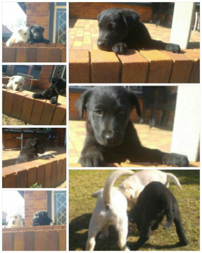 Puppies Labrador X German Shepherd