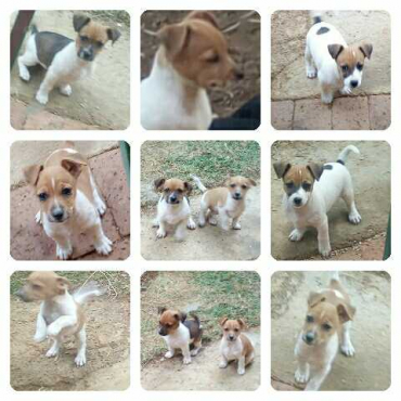 Foxterrier cross Jackrussel pups