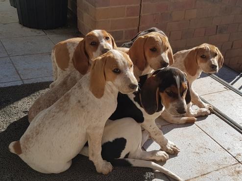 KUSA Registered show quality pups