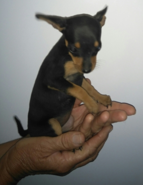Min Doberman Pincher Puppy