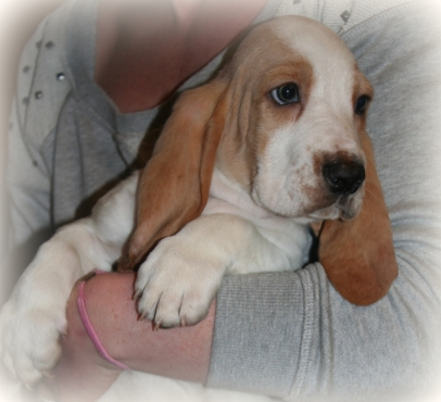 Registered Bassed Hound puppies available