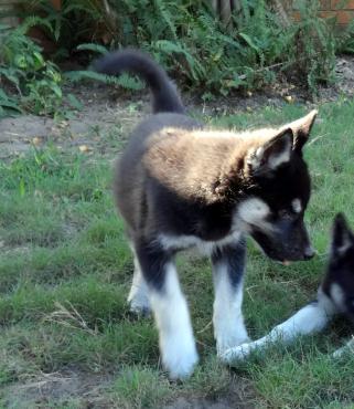 Last Husky Females/Tefies