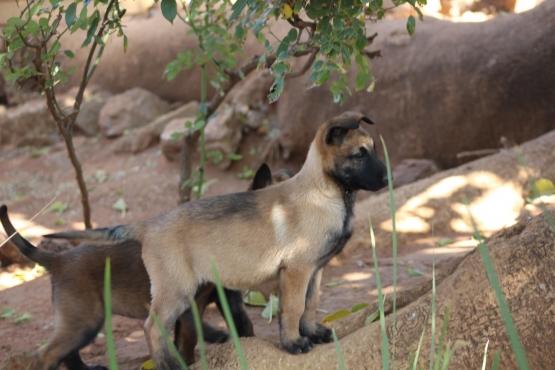 Belgium Shepherd Malinois