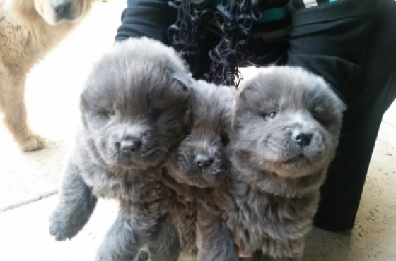 Grey chow puppies