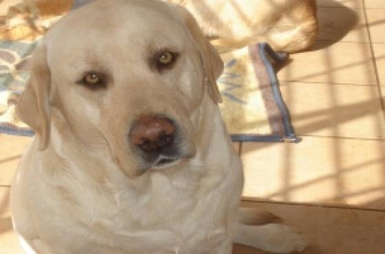 KUSA REG Labrador yellow pups