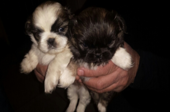 pikeneese puppys