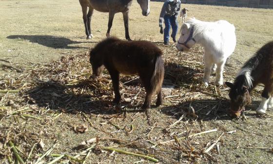 Miniatutre Pony
