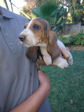 Bassette Hound Puppies
